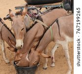 Four Hungry Donkeys Trying To...