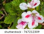 Pink And White Bi Color Geranium