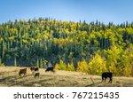 cows in a mountain meadow ... | Shutterstock . vector #767215435