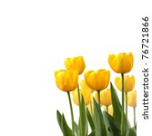 Tulips Isolated On White...