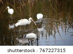 beautiful sacred ibis and... | Shutterstock . vector #767227315