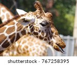 giraffe head licking air with... | Shutterstock . vector #767258395