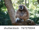 Screaming Crown Gibbon