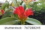 Small photo of Gesneriaceae (Aeschynanthus Hildebrandii Hemsl) in the nature