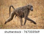 chacma baboon mother and... | Shutterstock . vector #767333569