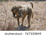 male chacma baboon foraging for ... | Shutterstock . vector #767335849