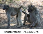 male grooming female chacma... | Shutterstock . vector #767339275