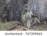 male chacma baboon sitting... | Shutterstock . vector #767339665