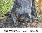mating chacma baboons in the... | Shutterstock . vector #767340265