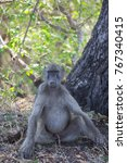 male chacma baboon sitting... | Shutterstock . vector #767340415