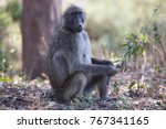 female chacma baboon sitting... | Shutterstock . vector #767341165