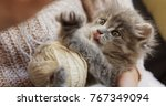 Stock photo close up of grey pussycat playing with a ball of white thread in the woman s hands small funny cat 767349094