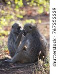 family chacma baboon resting on ... | Shutterstock . vector #767353339