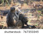 family chacma baboon resting on ... | Shutterstock . vector #767353345
