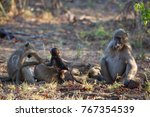 family chacma baboon resting on ... | Shutterstock . vector #767354539