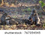 family chacma baboon resting on ... | Shutterstock . vector #767354545