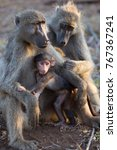 baby chacma baboon suckling by... | Shutterstock . vector #767367241