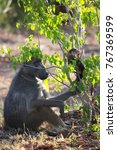 mother chacma baboon is... | Shutterstock . vector #767369599