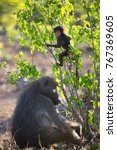 mother chacma baboon is... | Shutterstock . vector #767369605