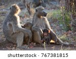 family of chacma baboon sitting ... | Shutterstock . vector #767381815