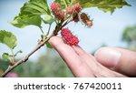 fresh mulberry  in hand  | Shutterstock . vector #767420011