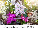 orchids flower in clay pots in... | Shutterstock . vector #767441629