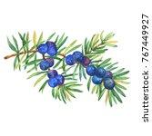 branch of juniper plant ... | Shutterstock . vector #767449927