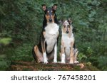 smooth collies  father and son | Shutterstock . vector #767458201