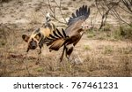 Small photo of An African Wild Dog makes an optimistic attempt on a vulture.