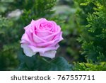 Lilac Tea Hybrid Rose.