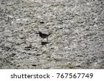 juvenile willet searching for... | Shutterstock . vector #767567749