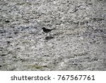 juvenile willet searching for... | Shutterstock . vector #767567761