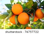 Branch Orange Tree Fruits Gree...