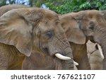 elephant   zoo dvur kralove ... | Shutterstock . vector #767621107