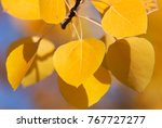 Aspen Leaves In The Fall