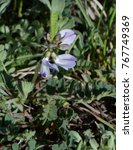 Small photo of Alpine Milkvetch - Wildflower