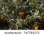 yellow flower cones of banksia...   Shutterstock . vector #767781271