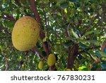 the jackfruit  genus artocarpus ... | Shutterstock . vector #767830231