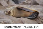 solitary cape fur seal sleeping ... | Shutterstock . vector #767833114