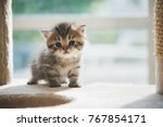 Stock photo cute persian kitten walking on cat tower 767854171