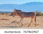 Somali Wild Donkey Equus...