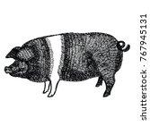 British Saddleback Pig Vector...