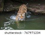 siberian tiger  panthera tigris ... | Shutterstock . vector #767971234
