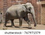 indian elephant  elephas... | Shutterstock . vector #767971579