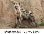 spotted hyena  crocuta crocuta  ... | Shutterstock . vector #767971591