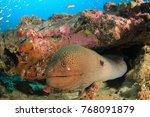 giant moray eel | Shutterstock . vector #768091879