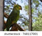 Small photo of Orange-Winged Amazon Parrot (Amazona amazonica) sleeping