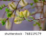 Spring Blossoming Buds Of A Tree