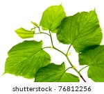 spring twig linden with green... | Shutterstock . vector #76812256