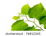 spring twig linden with green... | Shutterstock . vector #76812265